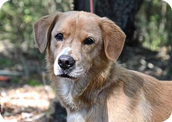 Golden Retriever Mix Dog for adoption in Chester, Connecticut - Buddy