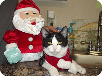Domestic Shorthair Cat for adoption in Marshall, Texas - Candy Cane