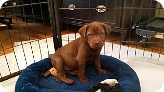 Labrador Retriever/Vizsla Mix Puppy for adoption in Alpharetta, Georgia - Sara
