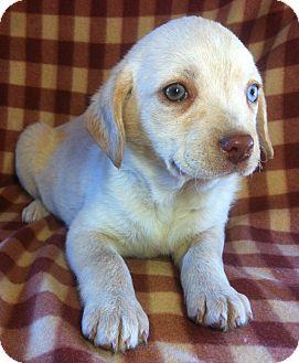 Labrador Retriever/Blue Heeler Mix Puppy for adoption in Kittery, Maine - Precious