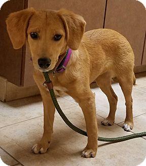 Beagle/Dachshund Mix Puppy for adoption in Palatine, Illinois - Lila