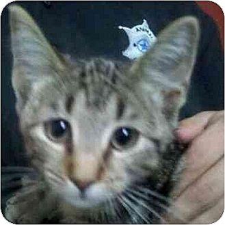 Domestic Mediumhair Cat for adoption in Sandersville, Georgia - Baxter