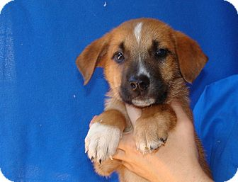 Australian Shepherd/Golden Retriever Mix Puppy for adoption in Oviedo, Florida - Saber