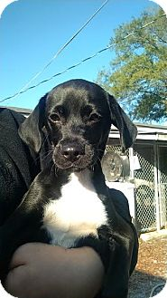 Beagle/Chihuahua Mix Puppy for adoption in Brooklyn, New York - Clancy