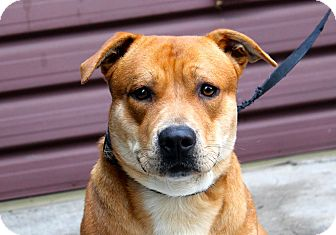 Labrador Retriever/Corgi Mix Dog for adoption in Los Angeles, California - Guido