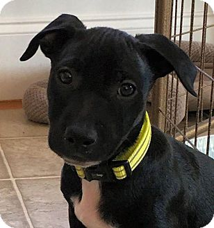Boston Terrier/Doberman Pinscher Mix Puppy for adoption in Oxford, Connecticut - Promise