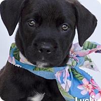 Adopt A Pet :: Dawson - Washington, DC