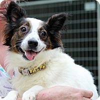 Papillon Mix Dog for adoption in Yardley, Pennsylvania - Paco
