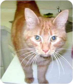 Domestic Shorthair Cat for adoption in Albany, Georgia - Pixie
