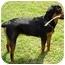 Photo 2 - Rottweiler/Labrador Retriever Mix Dog for adoption in Dallas, Texas - Susie
