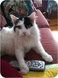 Domestic Longhair Cat for adoption in Quincy, Massachusetts - Shiner