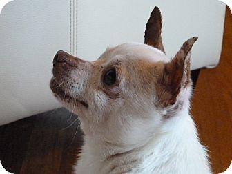 Chihuahua Mix Dog for adoption in San Diego, California - Arthur