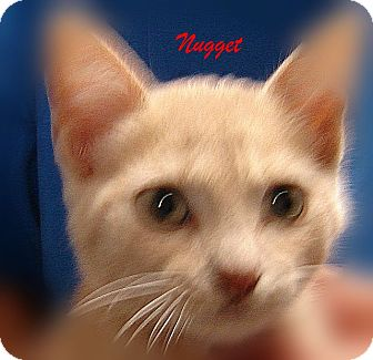 American Shorthair Kitten for adoption in Beaumont, Texas - Nugget