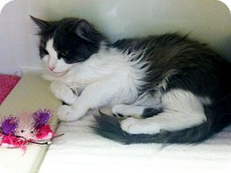 Domestic Mediumhair Kitten for adoption in Red Bluff, California - Alexa