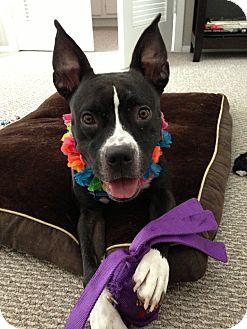 Boston Terrier/Boxer Mix Dog for adoption in Houston, Texas - Renata