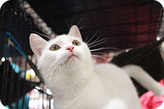 Turkish Van Kitten for adoption in Santa Monica, California - Jasmin