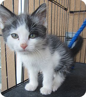 Domestic Shorthair Kitten for adoption in Westminster, California - Mario