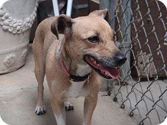 Dachshund/Terrier (Unknown Type, Small) Mix Dog for adoption in Corona, California - BRIDGET