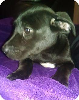 Labrador Retriever Mix Puppy for adoption in Tampa, Florida - Ebony