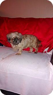 Shih Tzu Dog for adoption in Palm Bay, Florida - Natasha