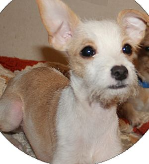 Fox Terrier (Toy)/Chihuahua Mix Puppy for adoption in Ridgecrest, California - Mikey