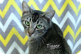 Domestic Shorthair Cat for adoption in Wichita Falls, Texas - Tigger
