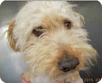 Poodle (Miniature)/Terrier (Unknown Type, Medium) Mix Dog for adoption in Gainesville, Florida - Moe