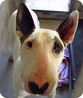 Bull Terrier Dog for adoption in Los Angeles, California - Mckenzie