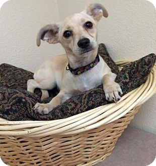 Terrier (Unknown Type, Small) Mix Dog for adoption in Gridley, California - Yoda