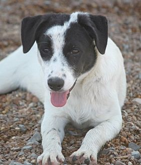 Collie/Spaniel (Unknown Type) Mix Dog for adoption in Wynne, Arkansas - Swiss Eakas
