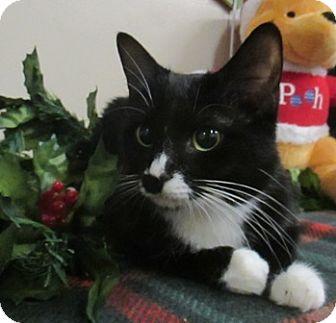 Domestic Shorthair Cat for adoption in Lloydminster, Alberta - Mandalin