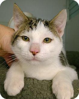 Domestic Shorthair Kitten for adoption in Seattle c/o Kingston 98346/ Washington State, Washington - Freddy