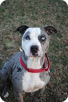 Catahoula Leopard Dog Mix Dog for adoption in Lafayette, New Jersey - Frankie