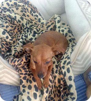 Dachshund Mix Puppy for adoption in Mesa, Arizona - ROSIE - 6 MO DACHSHUND FEMALE