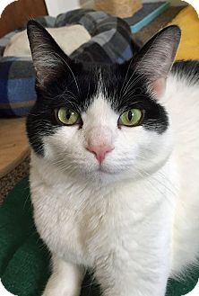 Domestic Shorthair Cat for adoption in Troy, Michigan - Kinsler