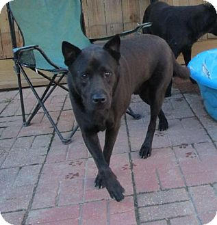 Shepherd (Unknown Type)/Labrador Retriever Mix Dog for adoption in New Orleans, Louisiana - Cagney