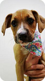Boxer/Golden Retriever Mix Puppy for adoption in Paris, Illinois - Lola