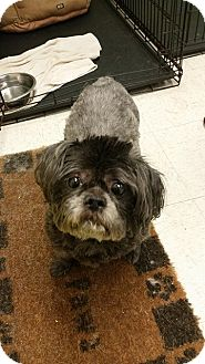 Shih Tzu Dog for adoption in Pataskala, Ohio - Gracie