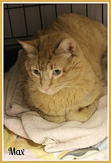 Domestic Shorthair Cat for adoption in New Richmond,, Wisconsin - Max