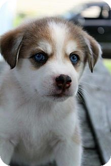 Husky/Beagle Mix Puppy for adoption in Grand Rapids, Michigan - Belle