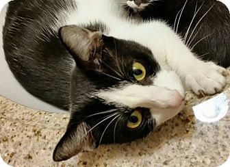 Domestic Shorthair Cat for adoption in East Brunswick, New Jersey - Enchantress