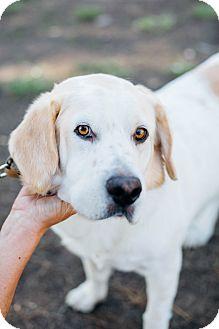 Labrador Retriever/Clumber Spaniel Mix Dog for adoption in Los Angeles, California - Buddy the Bassador