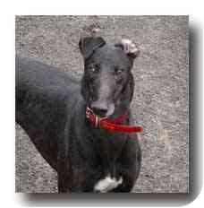 Greyhound Dog for adoption in Roanoke, Virginia - Prez