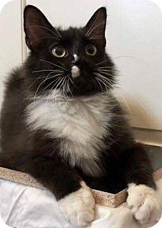 Domestic Mediumhair Cat for adoption in Mansfield, Texas - Gilbert