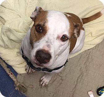 American Bulldog Mix Dog for adoption in Jupiter, Florida - Jade