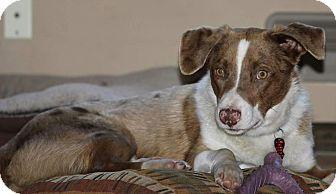 Australian Shepherd Mix Dog for adoption in Farmington, Minnesota - Ozzy