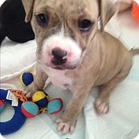 Adopt A Pet :: Fred Pistol - Houston, TX