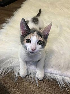 Calico Kitten for adoption in Tampa, Florida - Cali