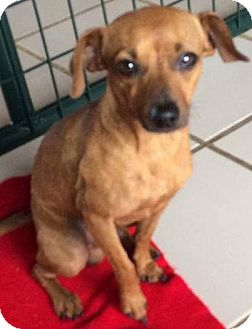 Dachshund/Chihuahua Mix Dog for adoption in Holliston, Massachusetts - Kristoff