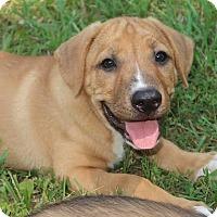 Adopt A Pet :: Taylor - York, PA